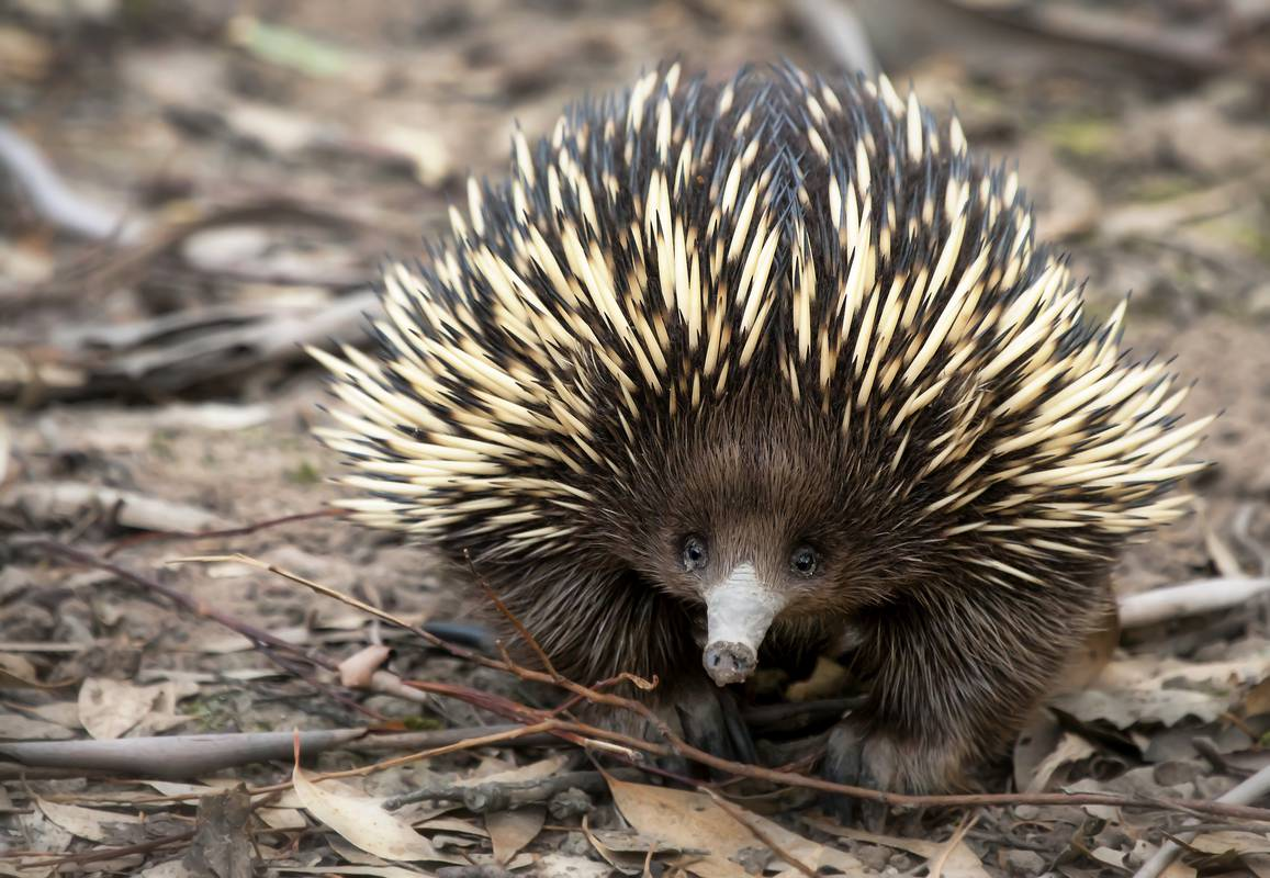 Ameisenigel 103455 on where do echidnas live in australia map