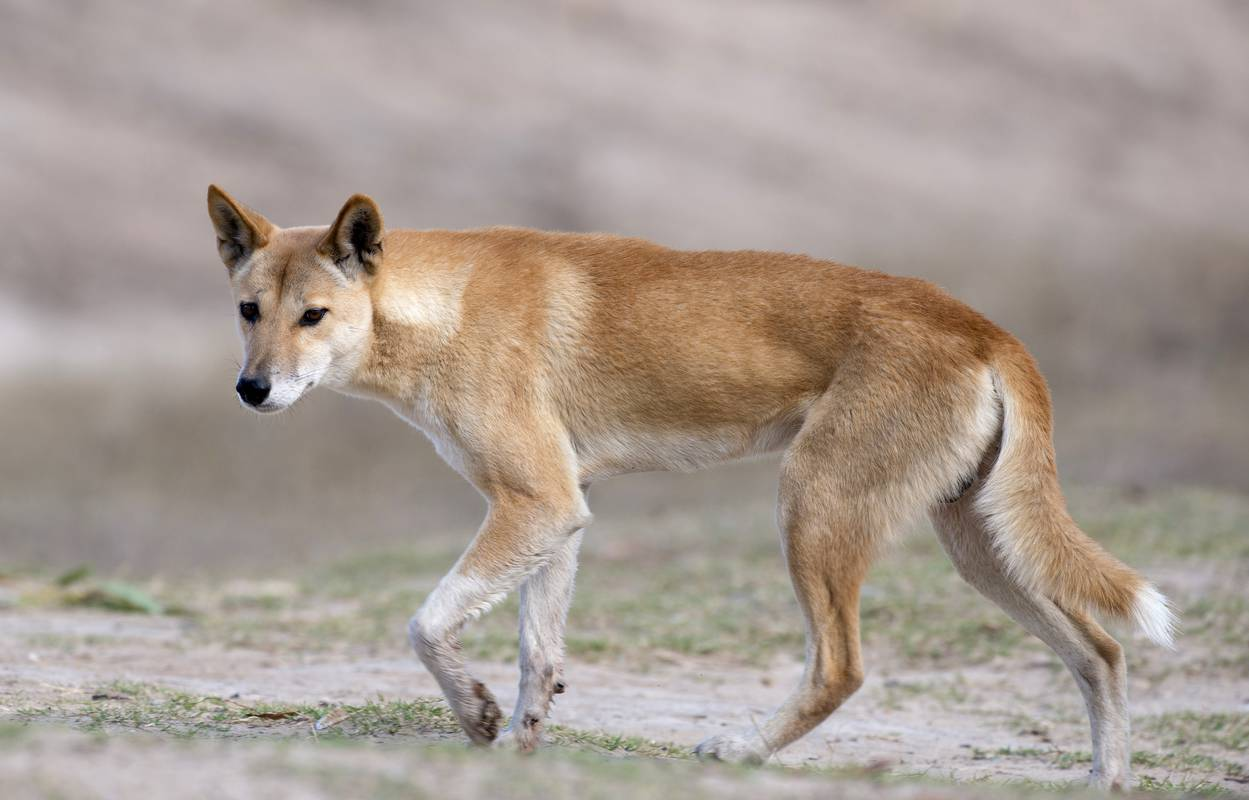 Dingo: Die wilden Hunde aus Down Under